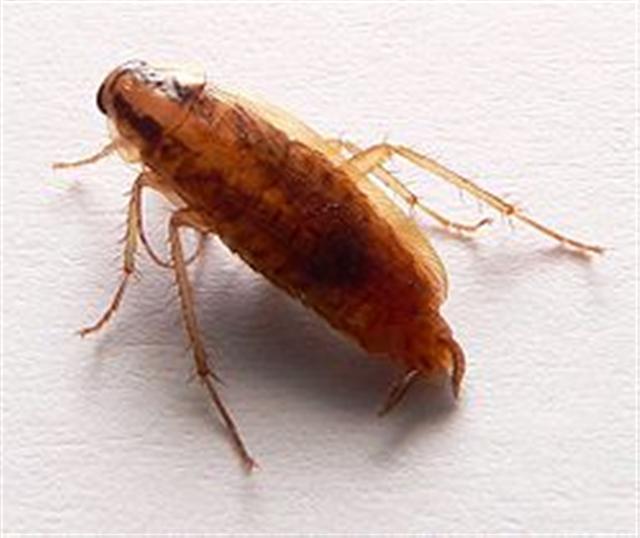 d sinsectisation identifiez les insectes blattes cafards rats souris gu pes punaises. Black Bedroom Furniture Sets. Home Design Ideas