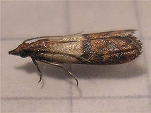 Boutique en ligne d sinsectisation identifiez les insectes - Larve mite alimentaire ...